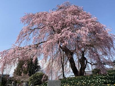 金毘羅桜.JPG