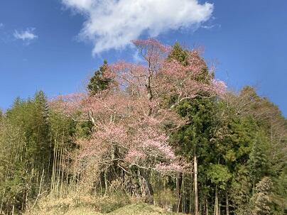 大庄屋桜.JPG